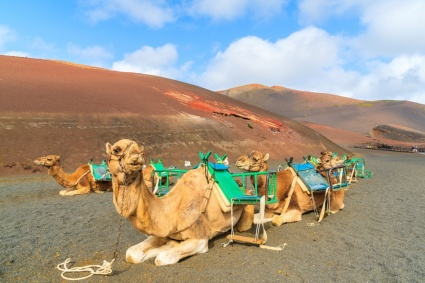 cosa-fare-alle-isole-canarie-camels-in-timanfaya-national-park-waiting-for-tourists-lanzarote-canary-islands-spain-827-1307